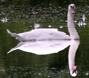 swan-refl
